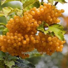 Калина жёлтая артикул БР1-07-104