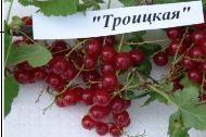 СМОРОДИНА  ЦВЕТНАЯ Троицкая артикул БР1-12-109