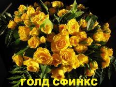 Розы флорибунда Роза Голд Сфинкс