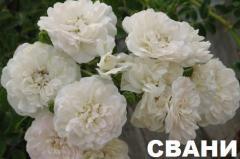 Розы почвопокрывные Роза Свани