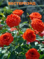 Розы плетистые, Розы вьющиеся,Роза Вестерлэнд