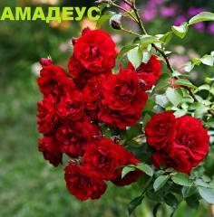 Розы плетистые, Вьющиеся розы, Роза Амадеус
