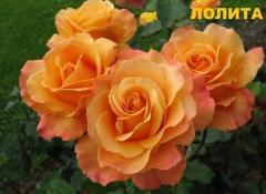 Розы парковые, Роза Лолита