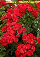 Розы почвопокровные, Роза Скарлет Мейландекор