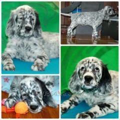 Puppies of the English setter (Ukraine, Chernihiv)