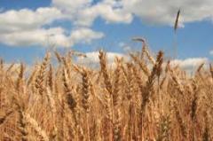 Производство зерновых, масличных культур,