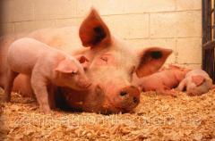 Концентраты для свиней
