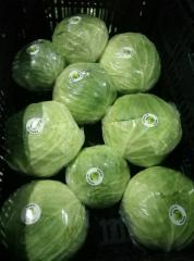 Cabbage young