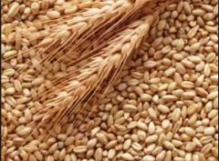Wheat spelled
