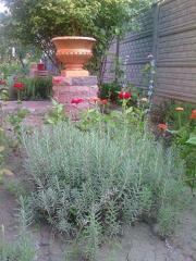 Lavender saplings