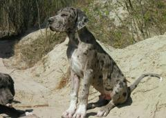 Puppies of the German mastiff from Multichampions