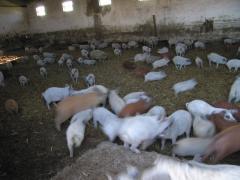 """Pigs """"Hungarian Mangalitsa"""