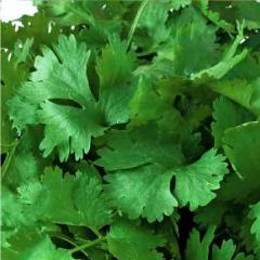 Семена кориандра/кинзы Мароканский Euroseed 100г