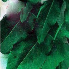 Семена щавля Широколистный Moravoseed 1000г