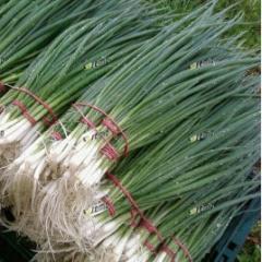 Семена лука Герда на перо среднераннего 65-70дн. Semo 50г