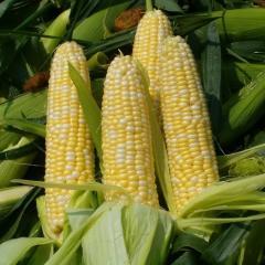 Семена кукурузы Брусница сладкой Семена Украини 1кг