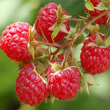Deep Frozen (IQF) Cultivated Raspberry Organic,