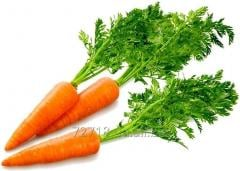 Carrot concentrate food powdery