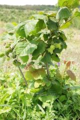 Filbert saplings grade Trebizond