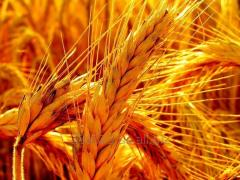 Barley without GMO