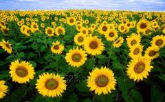 Sunflower without GMO