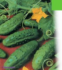 Cucumbers bush, cucumber, cucumbers fresh, fresh
