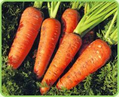Table root crop