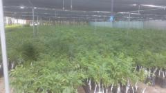 Walnut saplings California-chendler