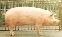 Premix for fattening of pigs