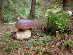 Carpathian bily mushroom (svizhy) z serpnya 2017