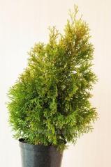 Туї, вічнозелені рослини. Смарагд, Колумна, Брабант та ін.