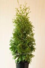 Туї, вічнозелені рослини. Колумна, Смарагд, Брабант та ін.