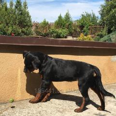 Puppies of a Rottweiler of Bordo - Viktoria From