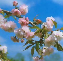 Вишня мелкопильчатая Кику-шидаре-сакура