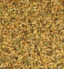 Utskho-suneli seeds