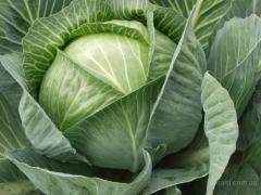 """Cabbage white grade """"Amon"""