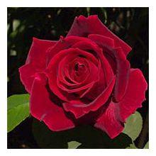 Саджанці роз/саженцы роз