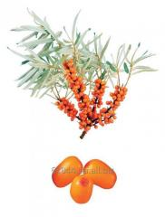 Sea buckthorn oil concentrate