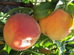 Peach Fair Heyven