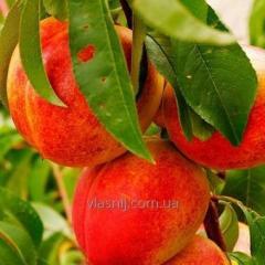 Nectarine Starck Sangl