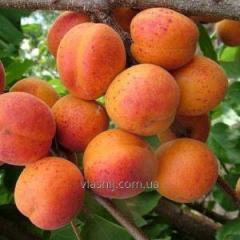"""Apricot Har About """"Gem"""