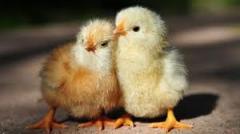 Курчата м'ясо-яєчних порід курей
