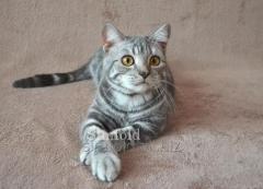 Шотландский котик окрас голубой мрамор на серебре (SFS 71 as 22)