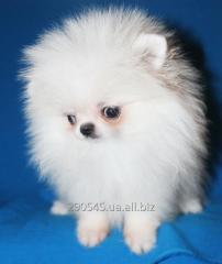 Puppies spitz-dog Pomeranian