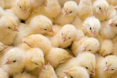 Суточные цыплята бройлера, цыплята-бройлеры,