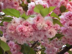Oriental cherry Kanzan