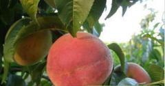 Саженцы персика сорт Кардинал
