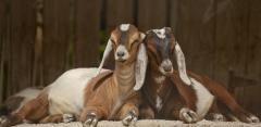 Англо-нубийская порода коз