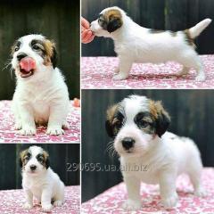 Puppy Jack Russell Terrier boy