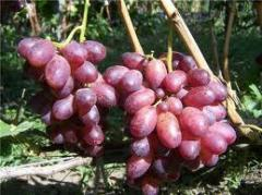 Саженцы винограда Спорт2 Придорожный